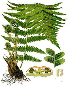Dryopteris_filix-mas_-_Köhler–s_Medizinal-Pflanzen-202