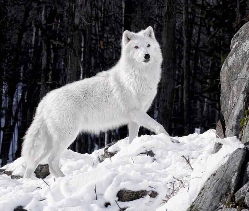 lobo-blanco-en-la-nieve