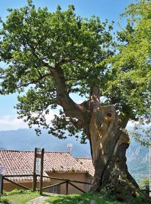 roble-centenario-bermiego-quiros-historia-de-asturias